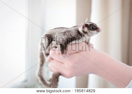 Hand of owner with cute sugar glider at home
