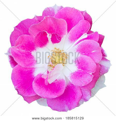 Pink Rose Flower Isolated On White With Clipping Path
