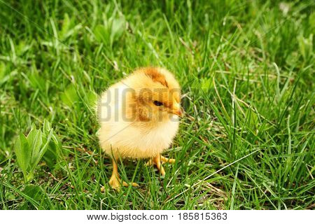 Cute baby chick on green grass, closeup