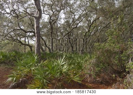 A dense Florida forest ecosystem with trees and other flora adapted to the warmer climate