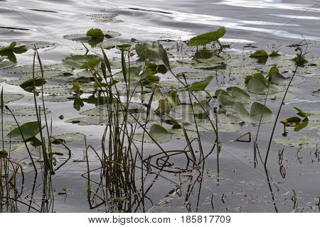 Close up of a Florida wetlands lake in winter densely covered with floating water lilies and creating a wonderful habitat for aquatic wildlife