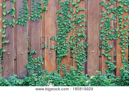 Vine Branch Vine leaves on wood wall background