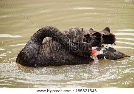 Black Swan Is Floatting In The Bloom