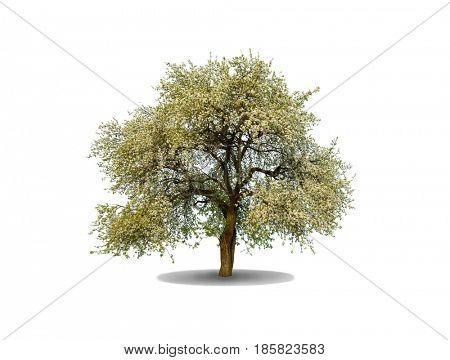 Apple Tree isolated on a white background