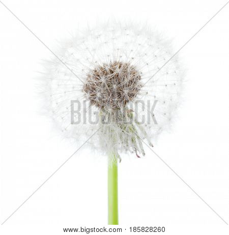 Dandelion ( seed head)  isolated on white background.