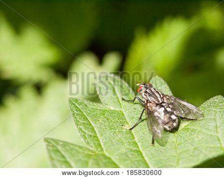 A Big Fly With Red Eyes Resting Upon A Leaf Waiting Not Moving Outside In Forest Uk Spring Day Light