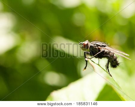 A Big Ugly Red Eyed Fly Outside Close Up In Full Detail Sharp Focus Macro In Spring Day Light With G