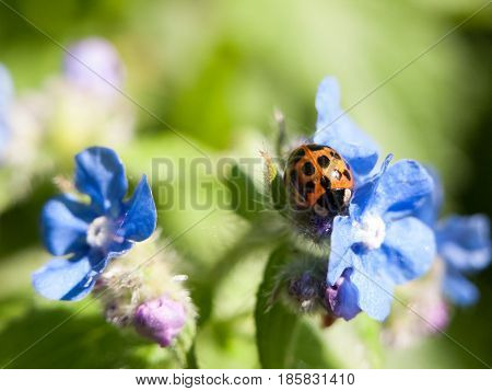 A Ladybird Shell On Top Of Some Small Blue Flowers Outside Forget Me Nots In Spring Day Light
