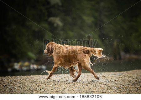 dog trotting