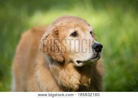 beautiful retriever
