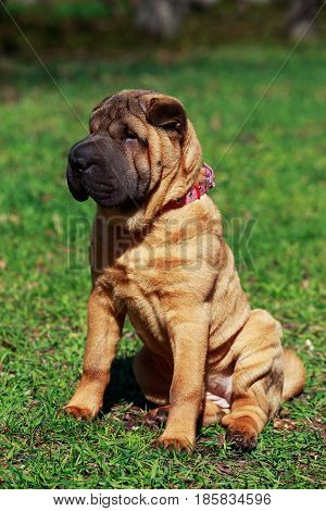 Shar Pei dog sitting on the green grass