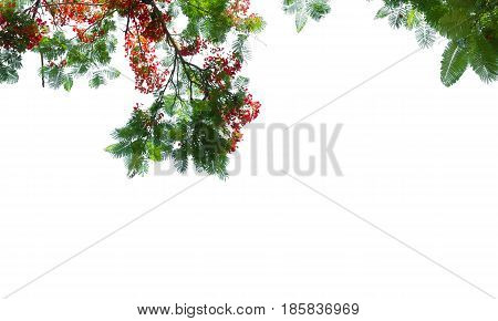 red guppy flower and green leaf on white background