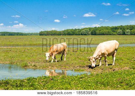 Cows on water trough in nature park Lonjsko polje, Croatia