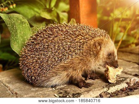 Wild European Hedgehog Eating Dinner Leftover