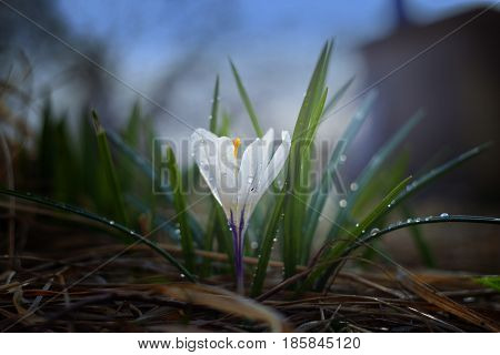 Spring flower a crocus in interesting lighting. Crocus a fine flower which grows with arrival of spring. Gentle petals. Pleasant colors. Incredibly beautifully! On a photo a flower a crocus. Pleasant colors and lighting. Prkrasny background.