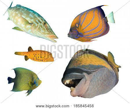 Tropical fish isolated on white background. Emperor fish, Angelfish, Boxfish, Triggerfish