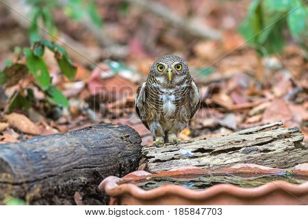 Close up beautiful bird Asian Barred Owlet (Glaucidium cuculoides) is a species of true owl drinking water on tub
