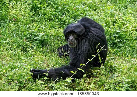 Siamang (Symphalangus syndactylus) sitting in the grass.