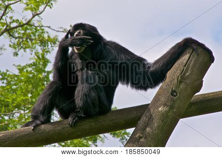 Siamang (Symphalangus syndactylus) making sounds by putting its hand before its mouth.