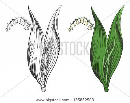 May-lily silhouette and colorful sample isolated on white background. Beautiful bouquet decoration, vector illustration