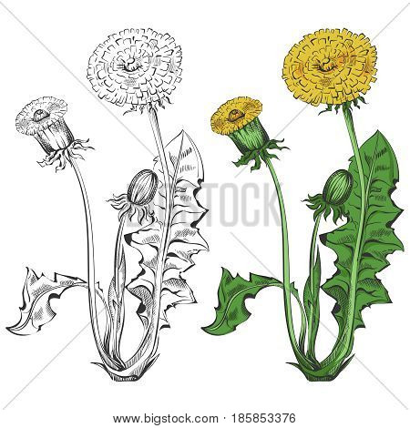 Dandelion silhouette and colorful sample isolated on white background. Flora dandelion for art decoration design, vector illustration