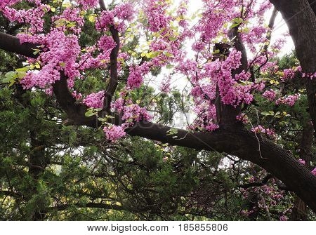 A blooming branch of almond tree in spring. photo of blossoming tree brunch with purple and pink flowers on blue sky background. blossoming tree of an peach-tree. spring season