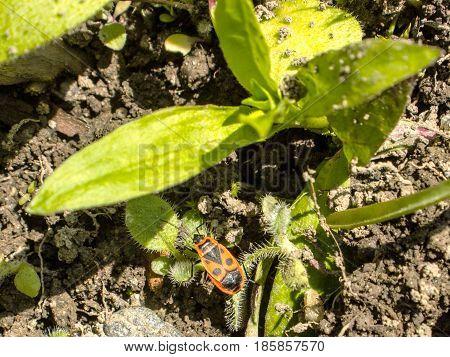 Pyrrhocoris apterus on clay and green leaves plants