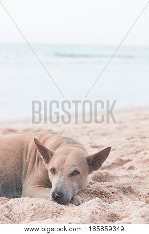 vagrant dog is lying down on sandy beach