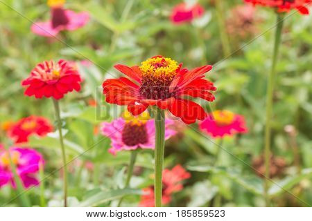 fresh beaufiful Zinnia flowers in Thailand garden