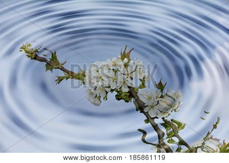 Water ripples with white cherry flowers reflexion