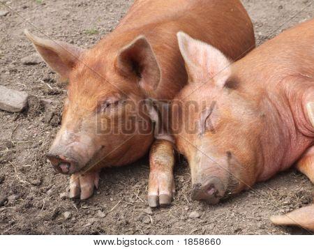 Two Happy, Sleepy Pigs