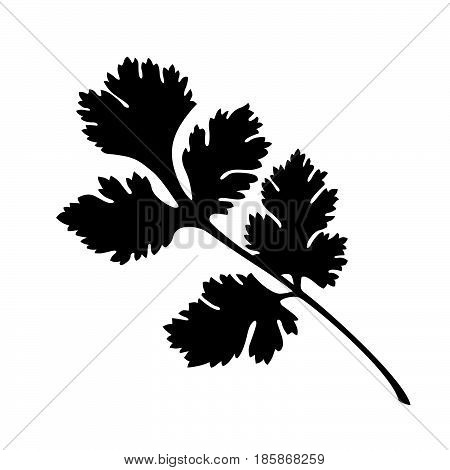 Coriander ( shade picture ) on white