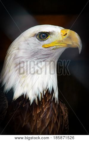 Closeup portrait of Bald Eagle