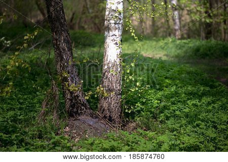 The Trunk Is A White Birch In The Spring. Young Greenery