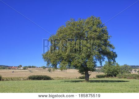 Single big tree in summer meadows and blue sky