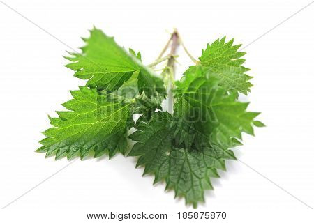 Young nettles in a row on the white background. Herb for spring collection and detoxification.