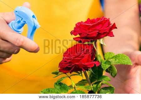Close-up of red roses with drops of water and hand gardener