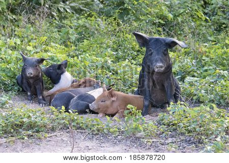 Female pig animal with piglets roaming free in the Cuban countryside. Seen in an Hanabanilla farm.