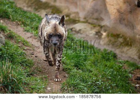 Striped hyena (Hyaena hyaena sultana). African animal
