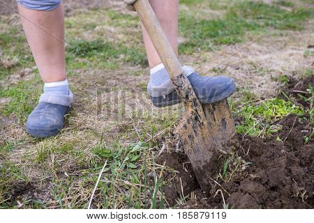 Woman digging with spade in autumn or spring garden