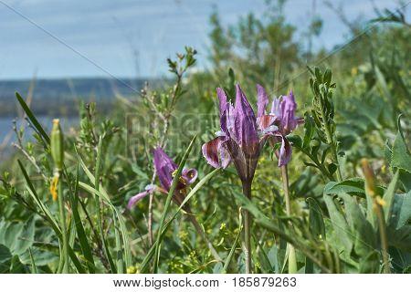 Flowers Siberian iris (Iris sibirica) on a spring meadow.