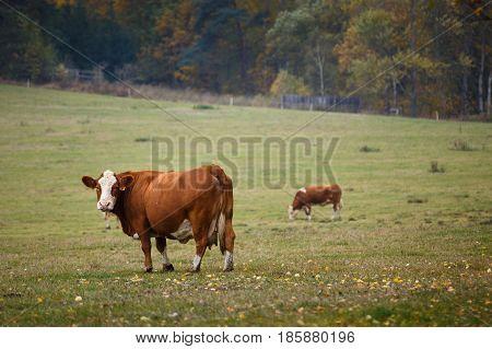 Cows grazing on autumn pasture, farm animals