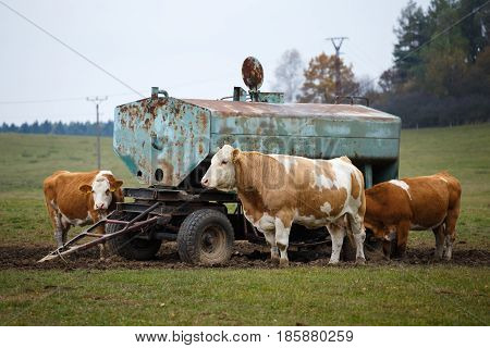 Cows on pasture and water tank, farm animals