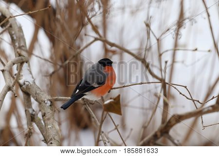 Fat bullfinch sits on tree branch with dry foliage in winter frost day