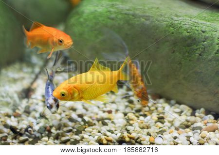 Four small fish two of which are bright yellow color others spotted coat swim in an aquarium