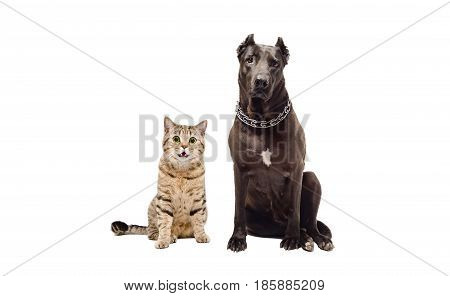 Staffordshire terrier and funny cat Scottish Straight sitting together, isolated on white background