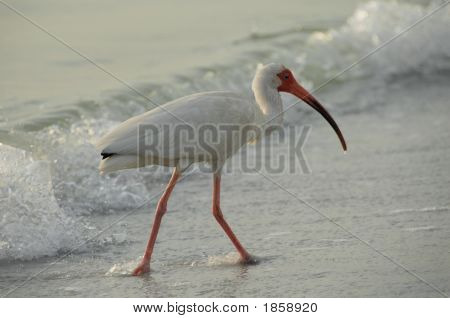 Ibis along the florida Gulf Coast. Madeira Beach Florida poster