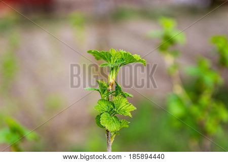 Spring shoots of currant. Currant seedlings. Young sprout of currant. Growing currant.