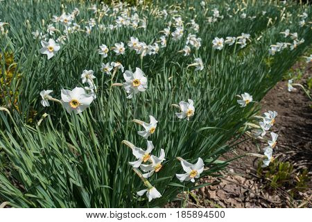 Lots Of Flowering White Narcissuses In The Park