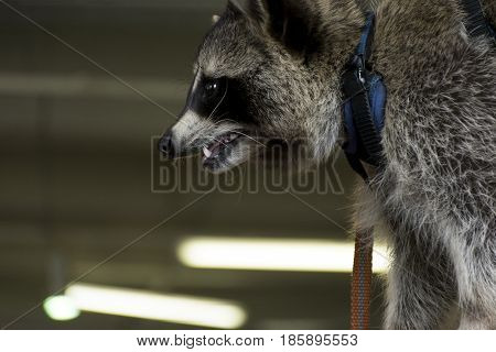 raccoon with shaggy gray fur on the leash slightly opened mouth in the room fangs